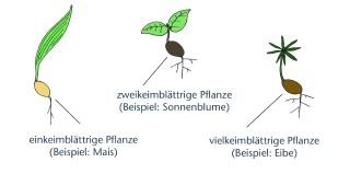 farbige zeichnung die pflanzen mit verschiedenen keimblttern zeigt einkeimblttrige pflanze beispiel mais - Einkeimblattrige Pflanzen Beispiele